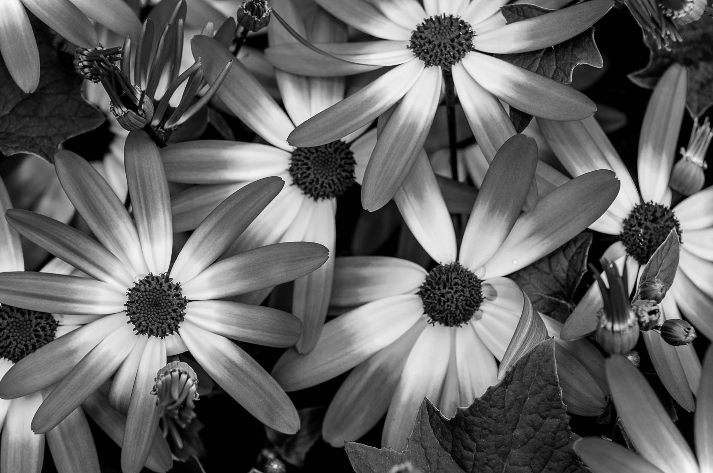 b and w-daisies-photos-5897
