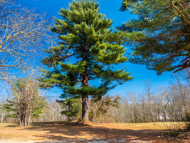 Photo of pine-trees