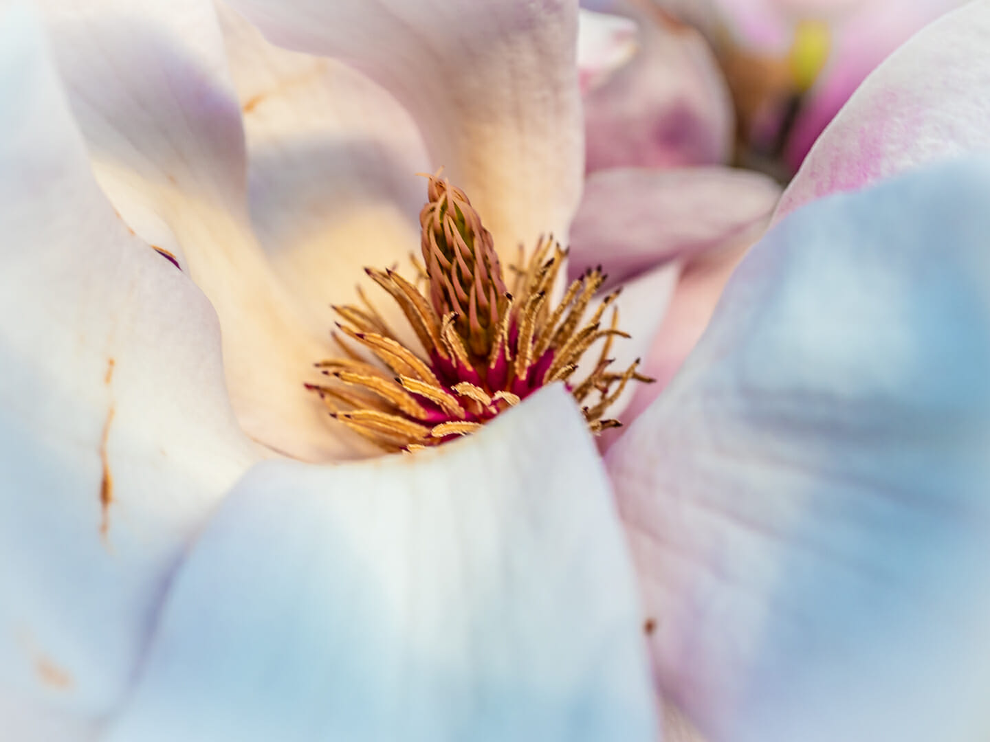 Magnolia flower Photo