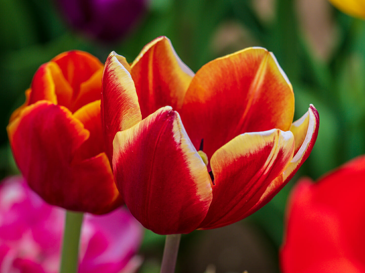 tulips-festible-4210060