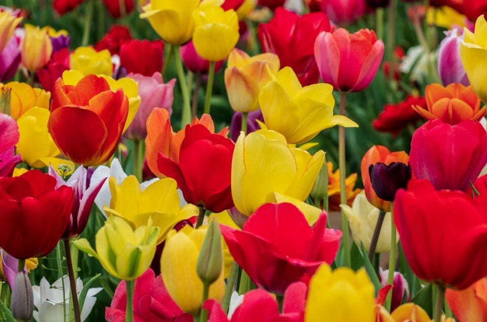 tulips-festible-4210064
