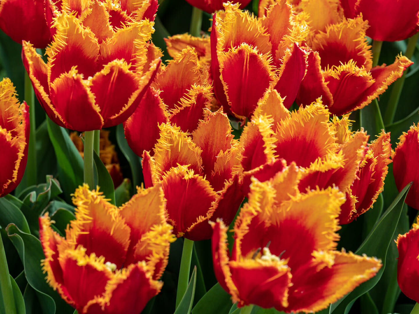 tulips-festible-4210090