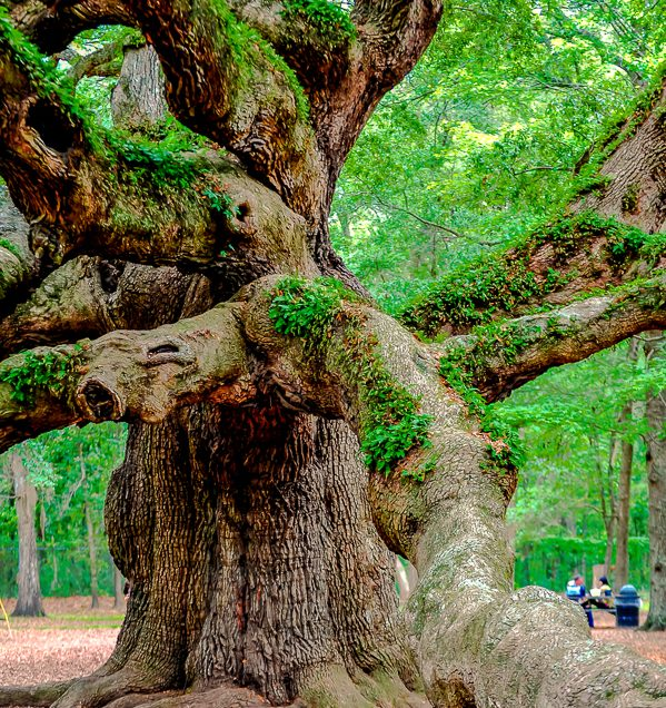 angel-oak-tree-9810