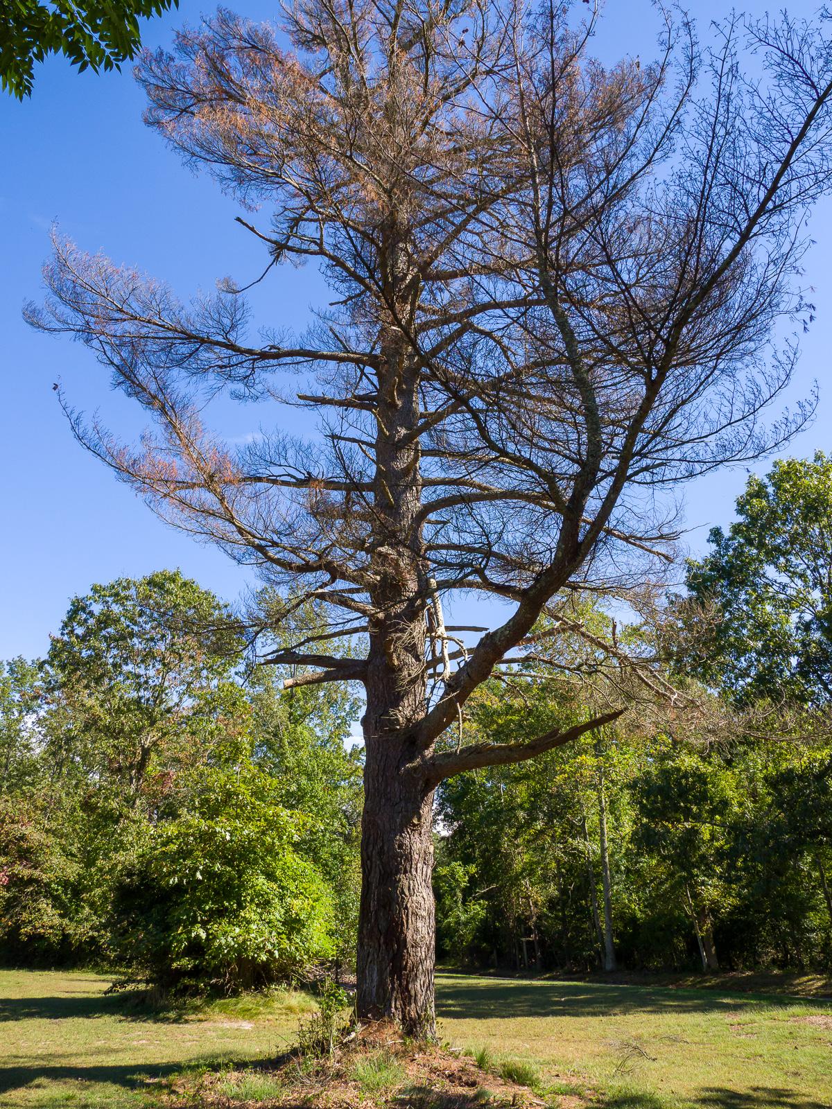 Big Trees at Atsion 2 photo
