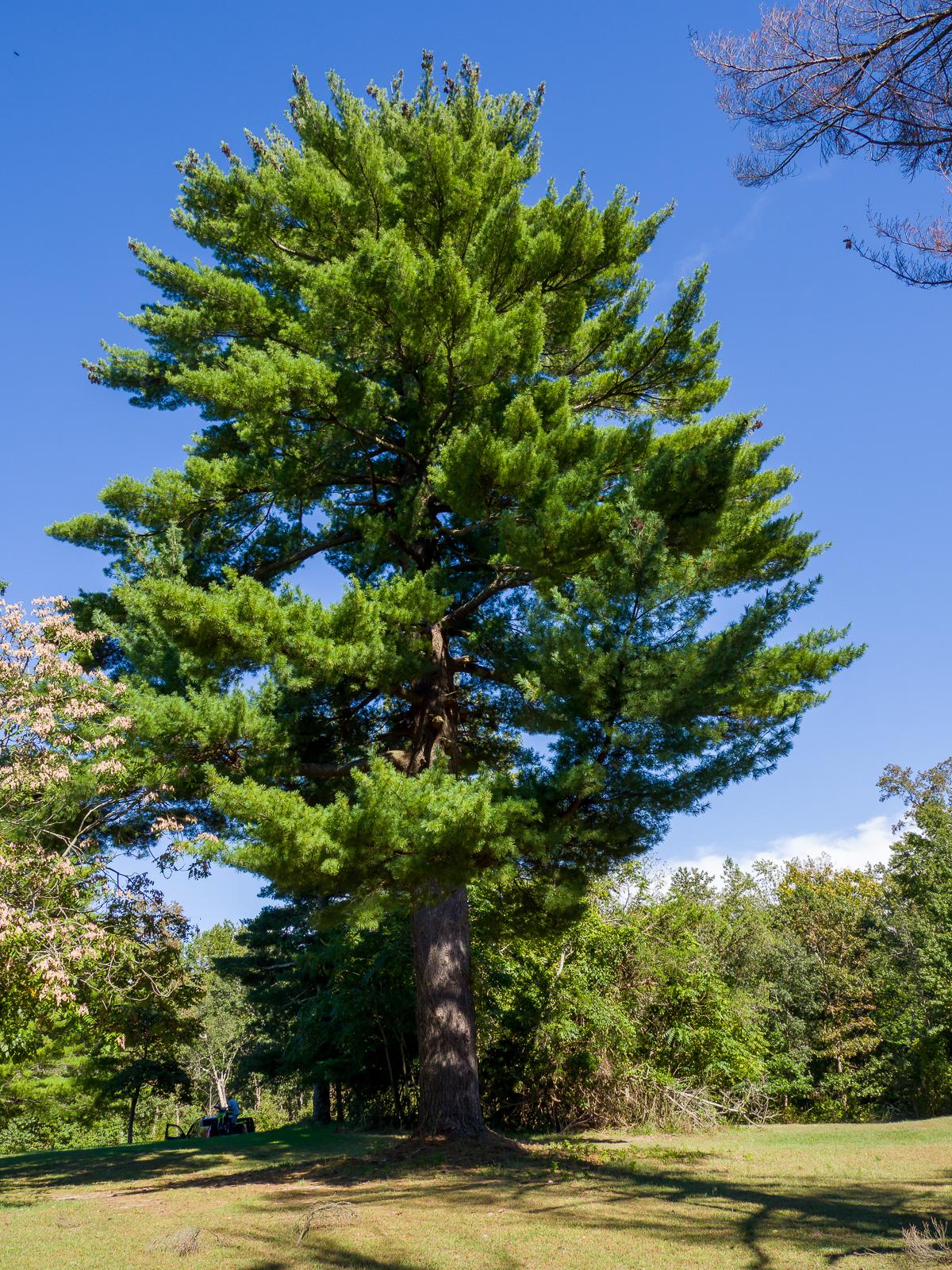 Big Trees at Atsion photo