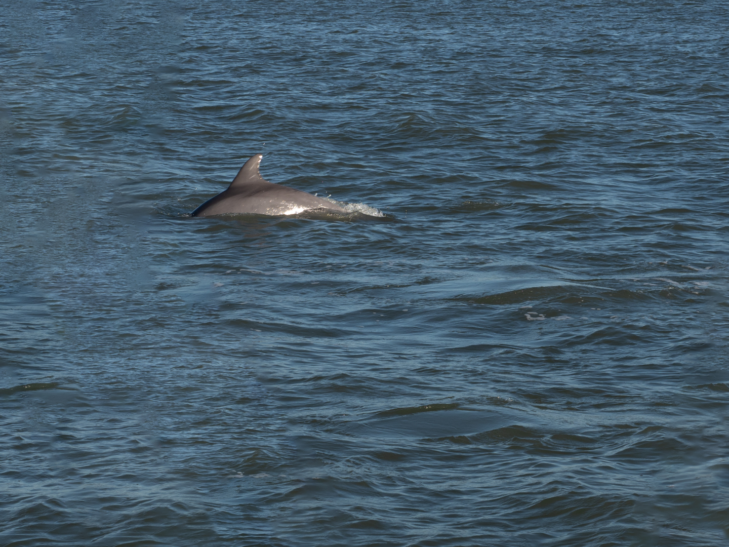 Diving Dolphins Photo