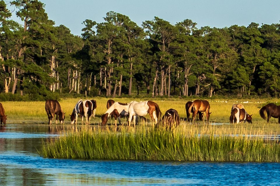 Color photo chincoteague Island ponies