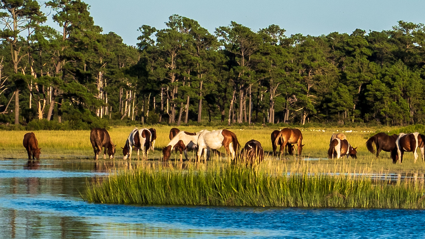 Color photo chincoteague Island ponies