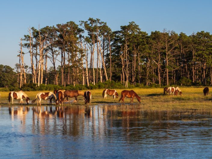 Photograph of wild horse grazing on chincoteague Island