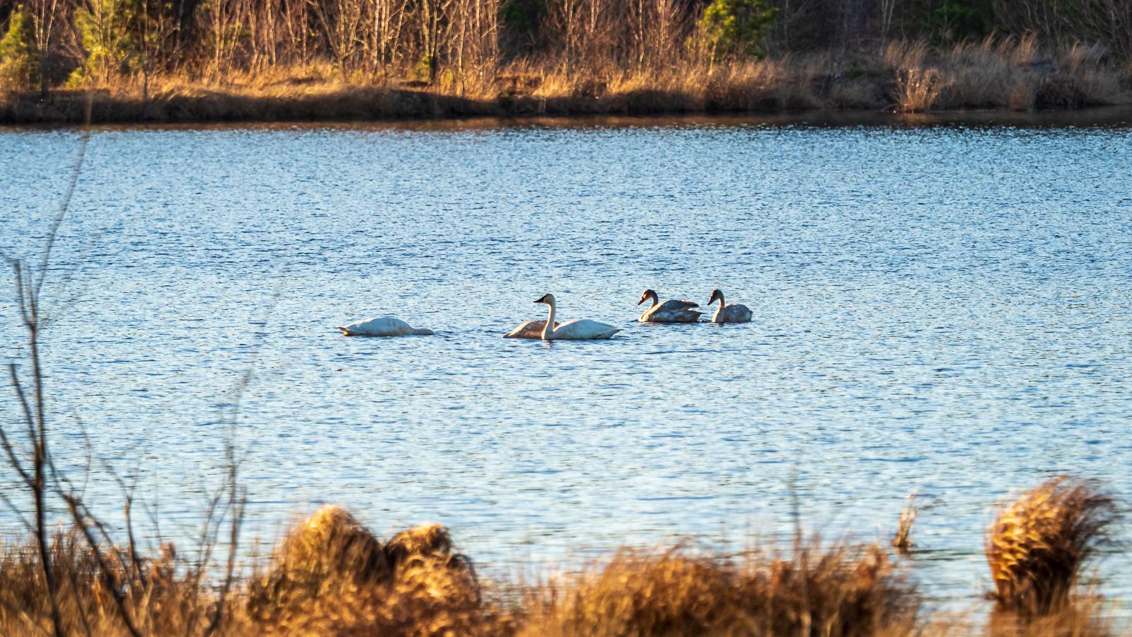 Tundra Swans at Whites Bog