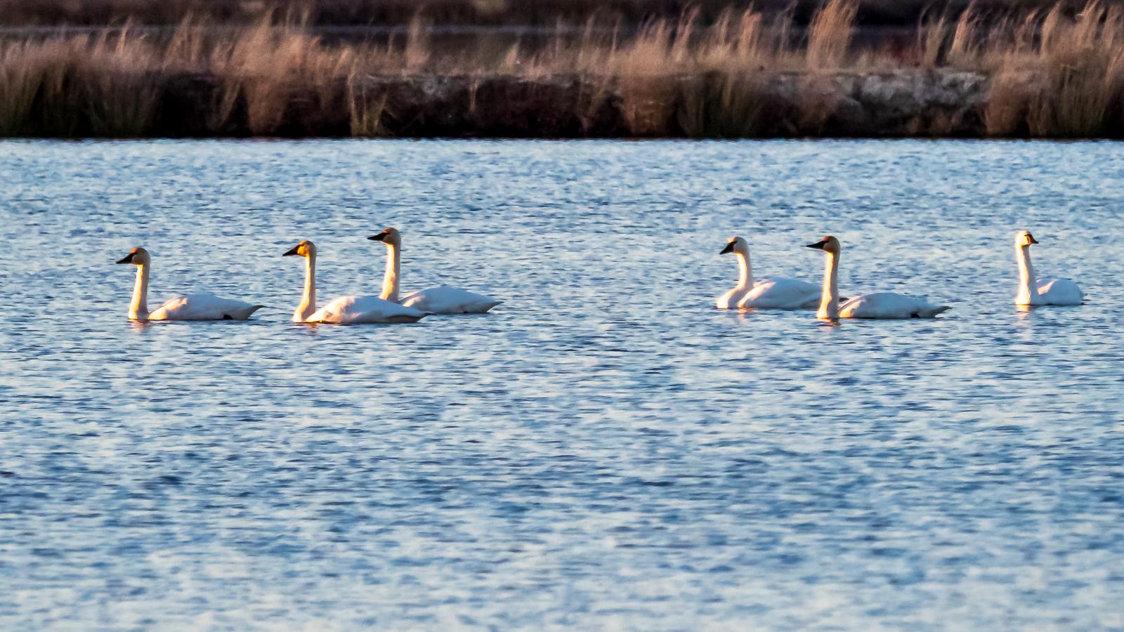 More Tundra Swans at Whites Bog