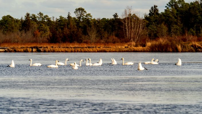 Looking for Tundra Swans at Whitesbog