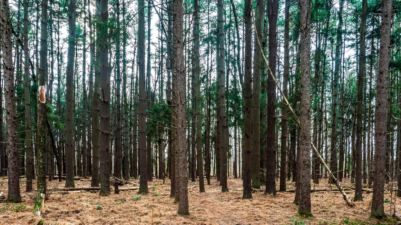 conifers trees