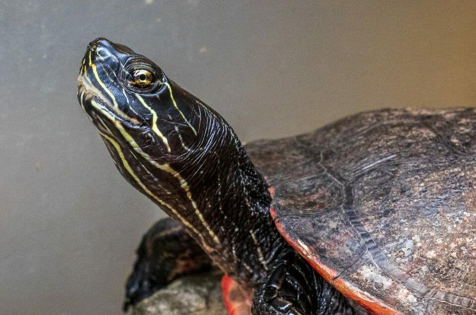 Wildlife Photo of a Turtle