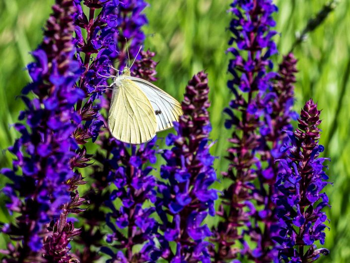 photo od a cabbage white butterfly