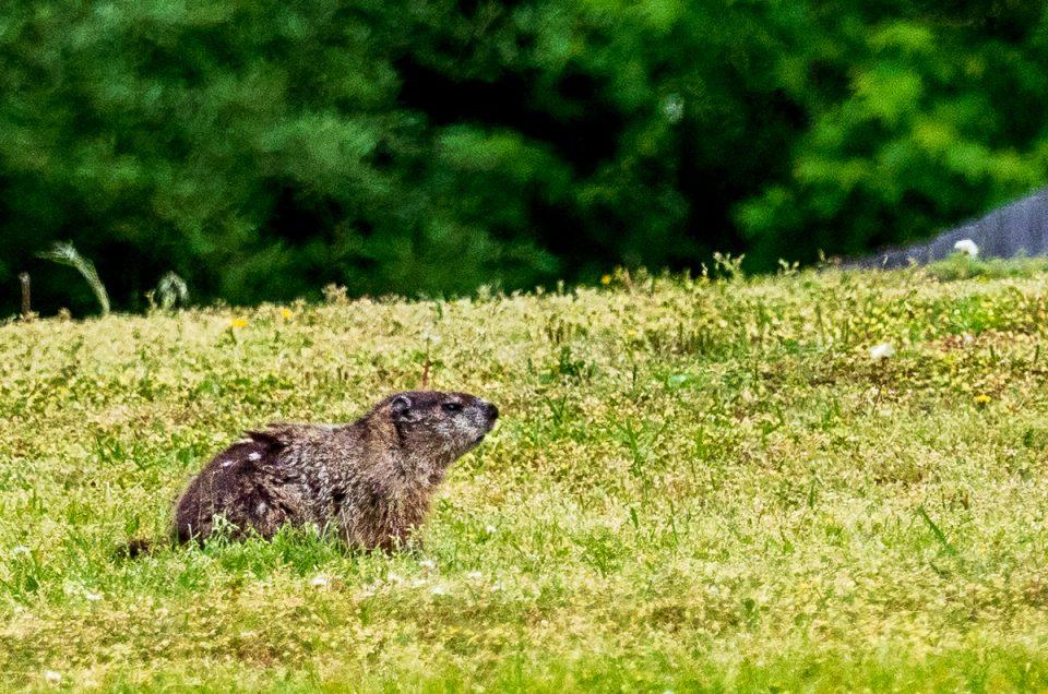 Photograph of Ground Hog