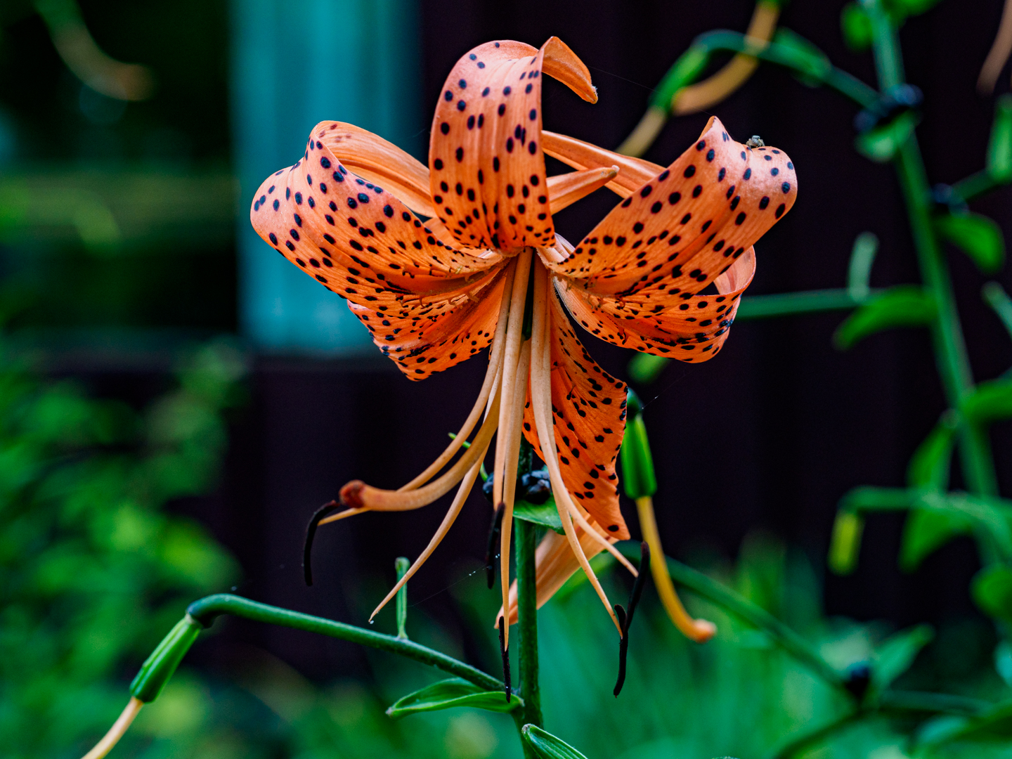 Organce Tiger lily flower