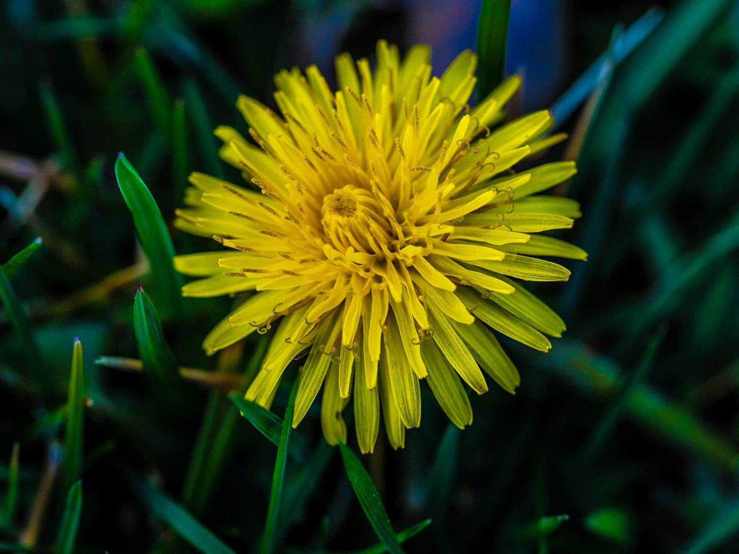 dandelion flower photo