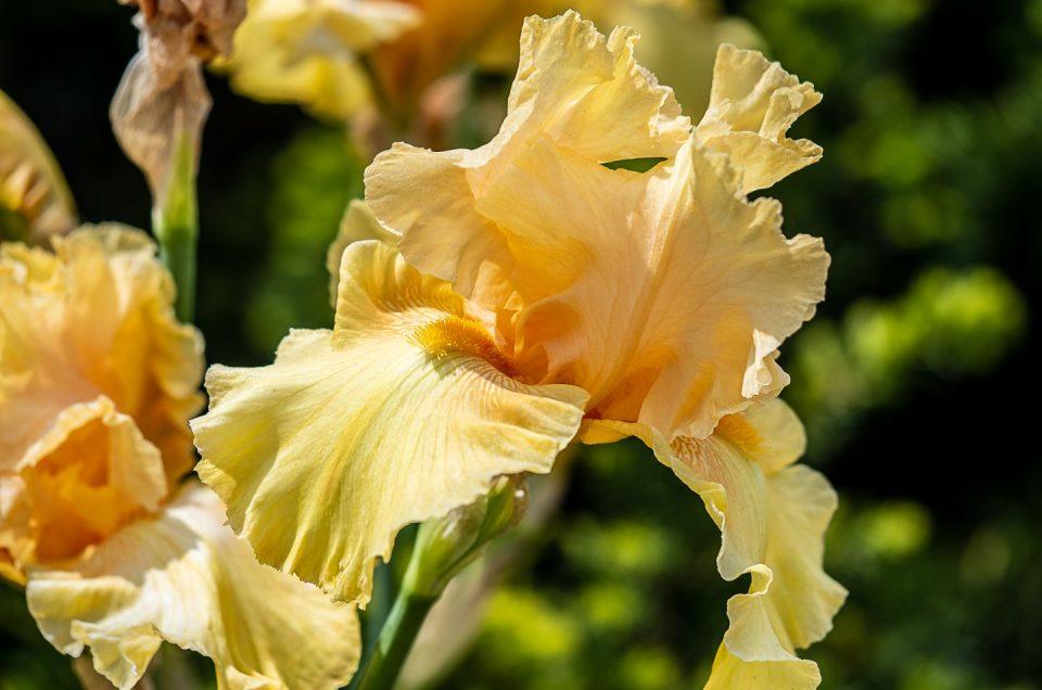 Yellow Iris Flower Photo 2