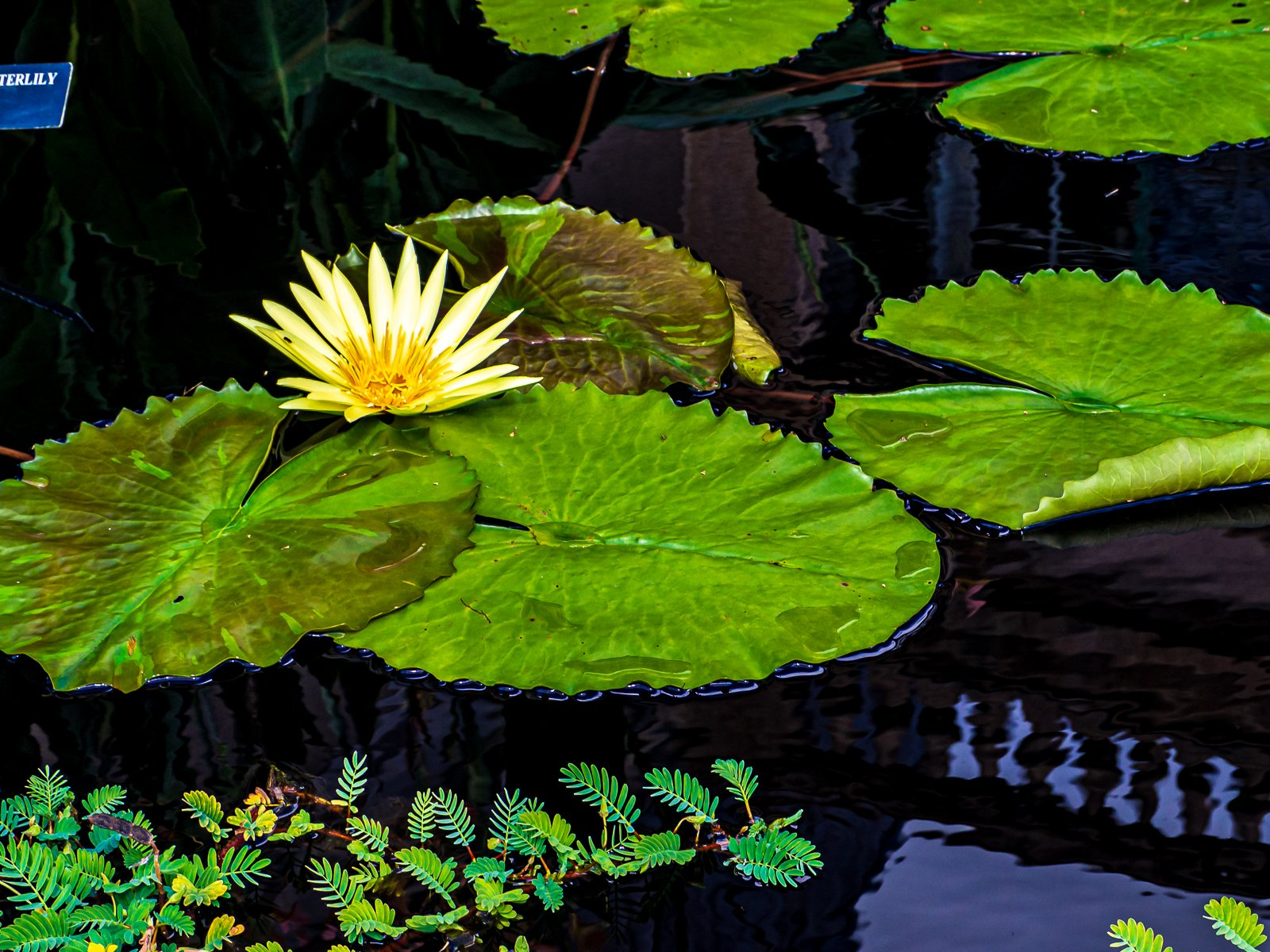 Yellow water lily photograph