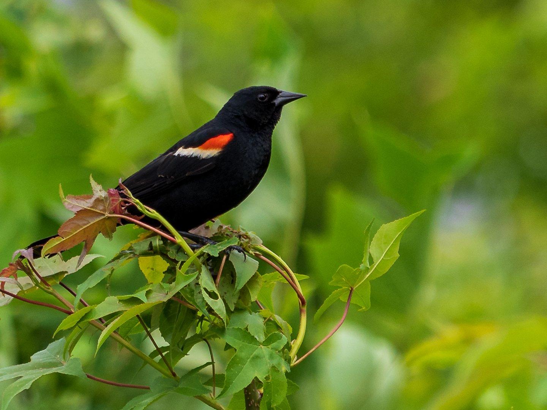 Red Wing Blackbird photo