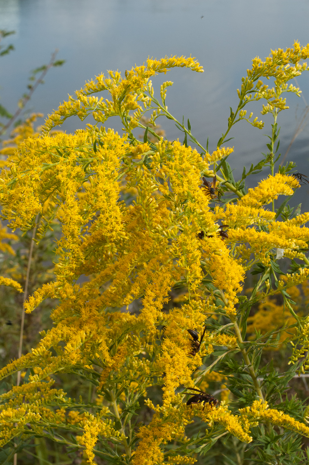 Golderrod Flowers