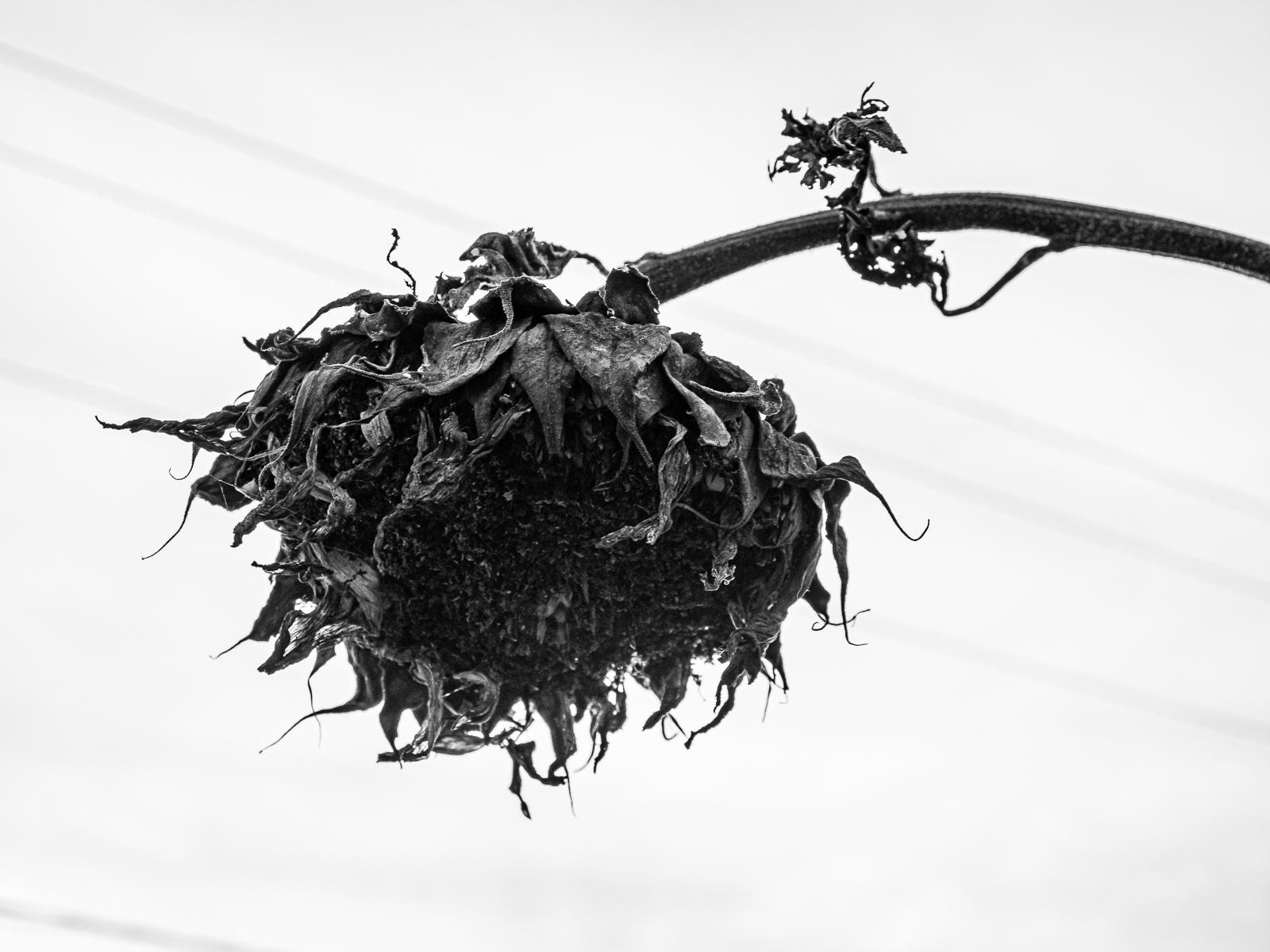 Black Sunflower Photo